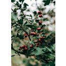Hymor Berberitze getrocknet 2kg Trockenfrucht ohne Zusätze Berberitzen Sauerdorn